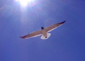 Letící racek.