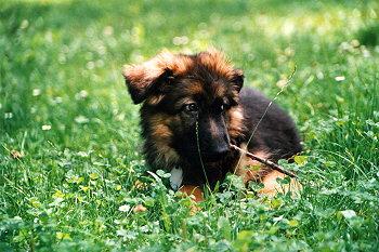Matrix, štěně německého ovčáka.