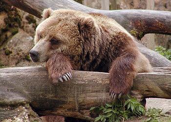 Medvěd hnědý grizzly.