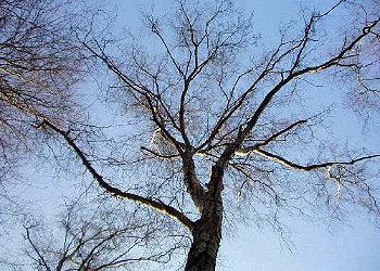 Koruna stromu.